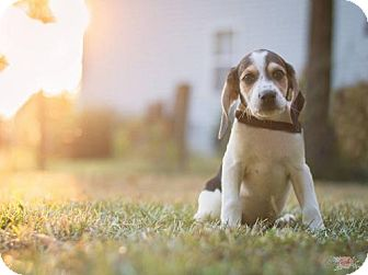 Shepherd (Unknown Type)/Hound (Unknown Type) Mix Puppy for adoption in Bowie, Maryland - Hurley