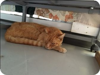 Domestic Shorthair Cat for adoption in Diamond Springs, California - Orange Kitty