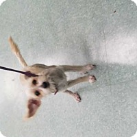 Maltese Mix Dog for adoption in San Angelo, Texas - Auggie