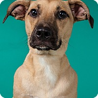 Border Terrier/Black Mouth Cur Mix Dog for adoption in Houston, Texas - Tucker