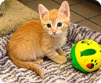 Domestic Shorthair Kitten for adoption in Lathrop, California - Midas