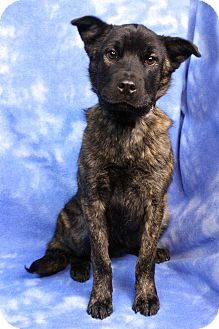 Shepherd (Unknown Type) Mix Dog for adoption in Westminster, Colorado - NALA