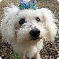 Toy Poodle Mix Dog for adoption in Brownsboro, Alabama - Heiress