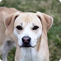 Adopt A Pet :: Tank - Liberty Center, OH