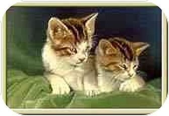 Domestic Shorthair Kitten for adoption in Merrifield, Virginia - Kitten Availability