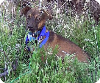 Shepherd (Unknown Type) Mix Dog for adoption in Gilbert, Arizona - Marcy