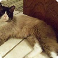 Adopt A Pet :: Teddy Bear - Ennis, TX