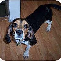 Adopt A Pet :: Wiggles - Novi, MI