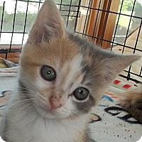 Adopt A Pet :: Diva - Acme, PA