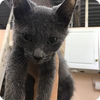 Adopt A Pet :: Pocus - Covington, KY