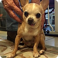 Chihuahua Dog for adoption in El Cajon, California - Grandpa