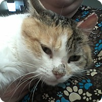 Domestic Shorthair Cat for adoption in Chewelah, Washington - Snowshoe