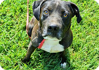 Boxer Mix Dog for adoption in Hagerstown, Maryland - Mitch
