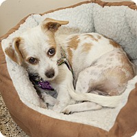 Adopt A Pet :: Shayla - Thousand Oaks, CA