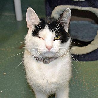 Domestic Shorthair Cat for adoption in Encino, California - Annie