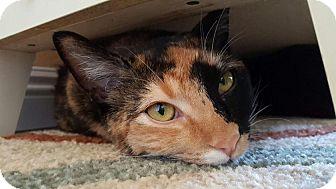 Calico Cat for adoption in Tucson, Arizona - Samoa