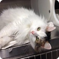 Adopt A Pet :: Fluffy - Indianapolis, IN