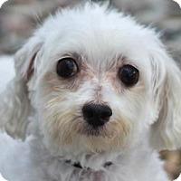 Adopt A Pet :: Vinny - Colorado Springs, CO