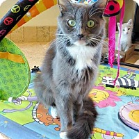 Domestic Mediumhair Cat for adoption in Chandler, Arizona - Purrsche