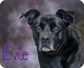 Labrador Retriever Mix Dog for adoption in Somerset, Pennsylvania - Evie