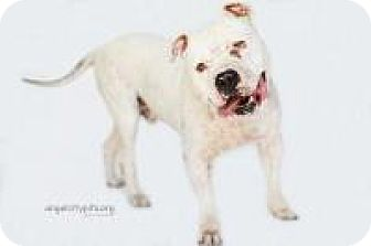 American Bulldog Mix Dog for adoption in LOS ANGELES, California - IGGY