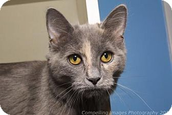 Domestic Mediumhair Kitten for adoption in Fort Collins, Colorado - Ribbons