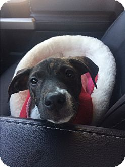 Whippet/Labrador Retriever Mix Puppy for adoption in Rochester, New Hampshire - Mercy
