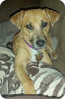 Dachshund/Dachshund Mix Dog for adoption in Romeoville, Illinois - Piper