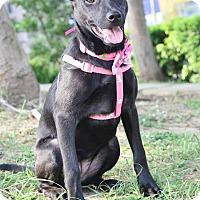 Adopt A Pet :: Rachel - San Mateo, CA