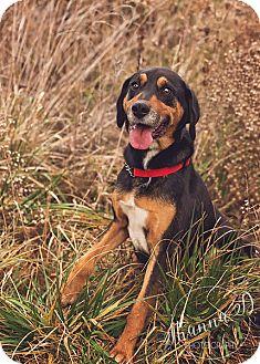 Hound (Unknown Type)/Doberman Pinscher Mix Dog for adoption in St. Catharines, Ontario - Bash