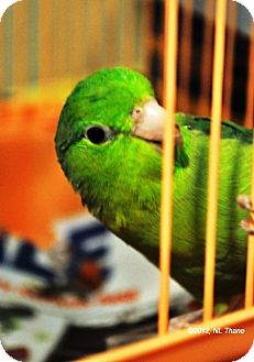 Parrotlet for adoption in Shawnee Mission, Kansas - Sweet Pea