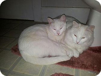 Domestic Mediumhair Cat for adoption in Oxford, New York - Ghost and Cloud