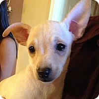 Adopt A Pet :: Bashful - Scottsdale, AZ