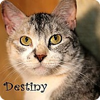 Domestic Shorthair Cat for adoption in Wichita Falls, Texas - Destiny