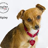 Adopt A Pet :: Ripley - Phoenix, AZ