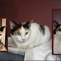 Domestic Shorthair Cat for adoption in Clarkson, Kentucky - Kayla
