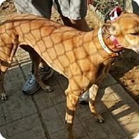 Adopt A Pet :: Sora - Spencerville, MD