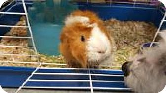 Guinea Pig for adoption in La Grange Park, Illinois - Rocko