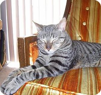 Domestic Shorthair Cat for adoption in Rochester, New York - Tiger