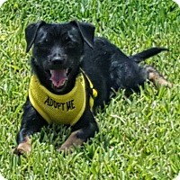 Dachshund/Terrier (Unknown Type, Small) Mix Puppy for adoption in Houston, Texas - Luke Skywalker