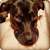 Doberman Pinscher/Pit Bull Terrier Mix Dog for adoption in Tucson, Arizona - Roxie