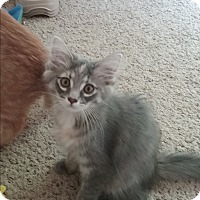 Domestic Mediumhair Kitten for adoption in Cedar Springs, Michigan - Pixie