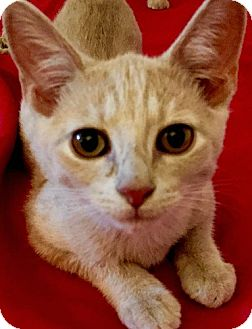 Domestic Shorthair Kitten for adoption in Brooklyn, New York - Sally and Selena, CUTEST orange sisters!