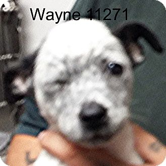Border Terrier/Australian Cattle Dog Mix Puppy for adoption in baltimore, Maryland - Wayne