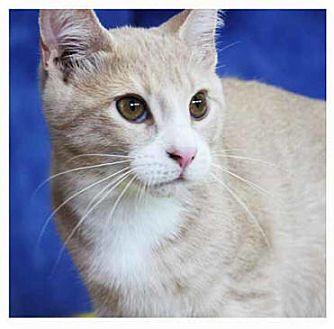 Domestic Shorthair Kitten for adoption in South Bend, Indiana - Maximillion