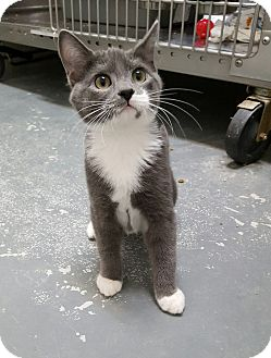 Domestic Shorthair Kitten for adoption in Umatilla, Florida - Fanta