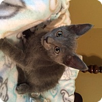 Adopt A Pet :: Nickolas - San Antonio, TX