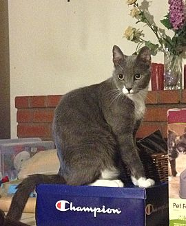 Domestic Shorthair Cat for adoption in Santa Rosa, California - Gatsby