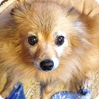 Adopt A Pet :: penny - Chesterfield, MO