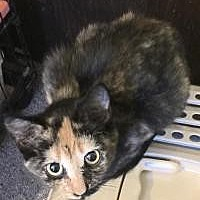 Adopt A Pet :: Jojo - Sedalia, MO
